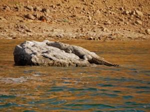 Krokodil, die vom Aussterben bedrohten Gangesgaviale verstecken sich vor uns auf Boot Safari im Chambal National Park bei Dholpur