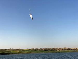 Scherenschnabel beim Abtauchen auf Safari Tour im Boot auf dem Chambal Fluss