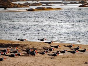 Scherenschnabel Kolonie: Boot Safari auf dem Chambal Fluss bei Dholpur in Rajasthan