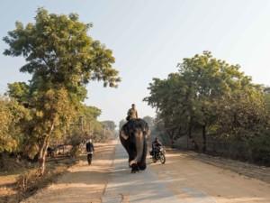 Indiens Straßenteilnehmer: Autos, Busse, Tuk Tuks, Mopeds aber auch Kühe, Hunde und mit etwas Glück auch mal ein Elefant oder Kamel. Elefant auf der Straße in Indien