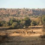 Axishirsche grasen in den Zone 1 vor der Kulisse des Ranthambore Forts.