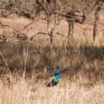 Der Blaue Pfau ist Nationalvogel von Indien.