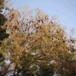 Zahlreiche Riesenflughunde im Baum hängend.