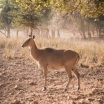 Weibliche Nilgaiantilope im Ranthambore Nationalpark.