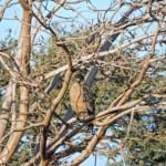 Die Schlangenweihe, hier auf einem Baum sitzend, gehört zu den Schlangenadlern.