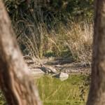 Sumpfkrokodil sonnt sich im Ranthambore Nationalpark.