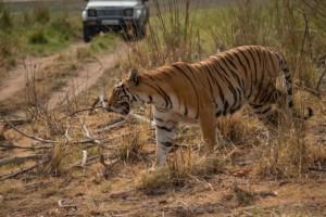 Ranthambore und Sariska sind beliebte Nationalparks für eine Tiger-Safari in Indien.
